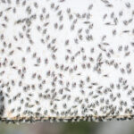 flying ants plague
